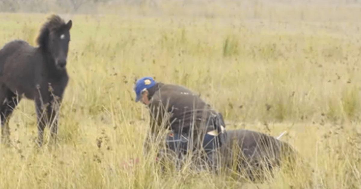 Cet homme libère un cheval sauvage avec les pattes enchaînées. Maintenant, admirez comment le cheval va le remercier.