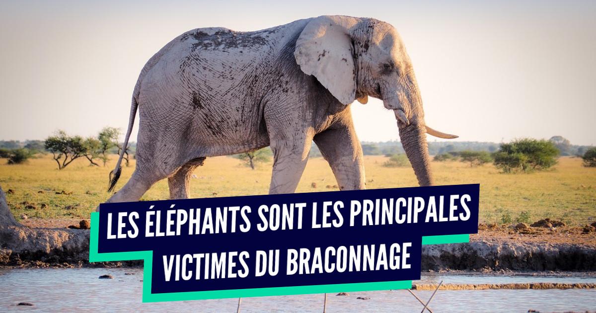Top 5 des pays avec le plus de braconniers, ceux où il fait pas bon être un éléphant