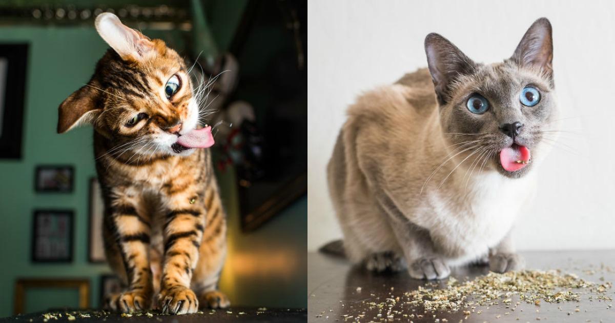 Top 10 des chats qui ont fumé trop d'herbe à chat, quand la drogue fait des ravages