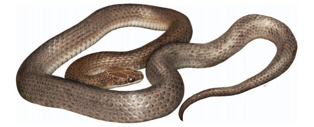 Une nouvelle espèce de serpent découverte (à l'intérieur d'un autre serpent)