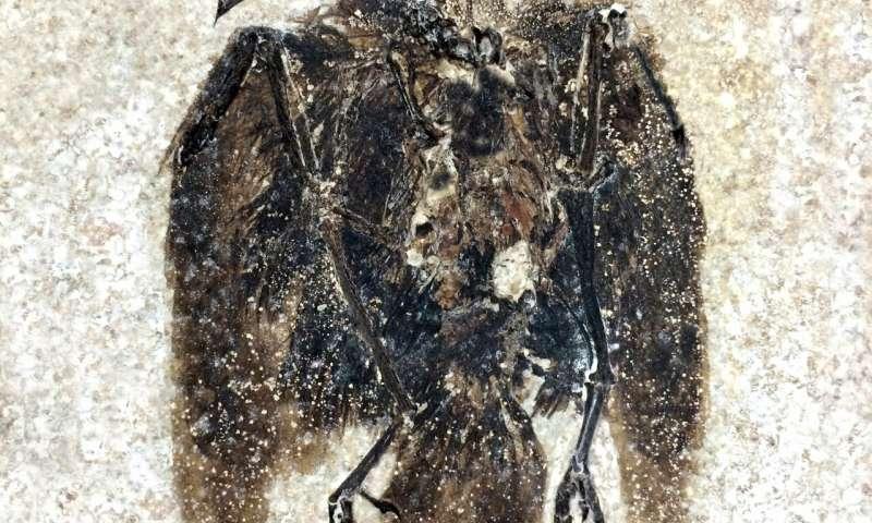 Le plus ancien oiseau percheur jamais découvert, vieux de 52 millions d'années – SciencePost