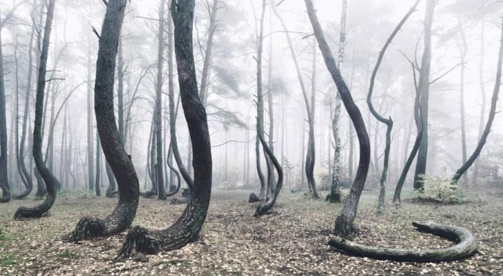 En Pologne, il existe une forêt peuplée d'arbres tordus et personne ne sait pourquoi