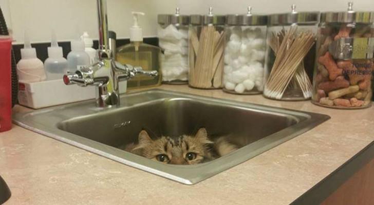 20 photos hilarantes de chats qui ont essayé (inutilement) de se cacher de leurs vétérinaires