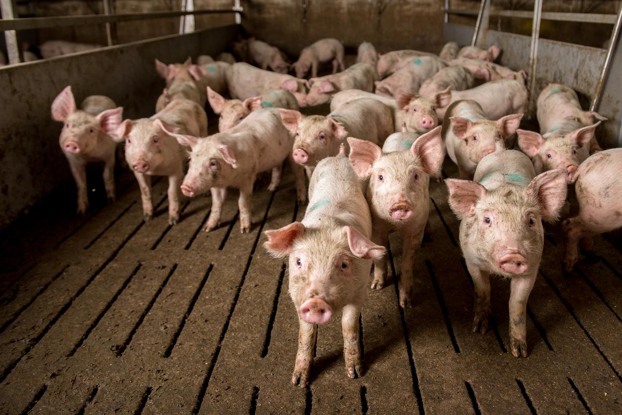 """Peste porcine : """"la plus grande épidémie animale jamais vue sur la planète"""" est en cours"""