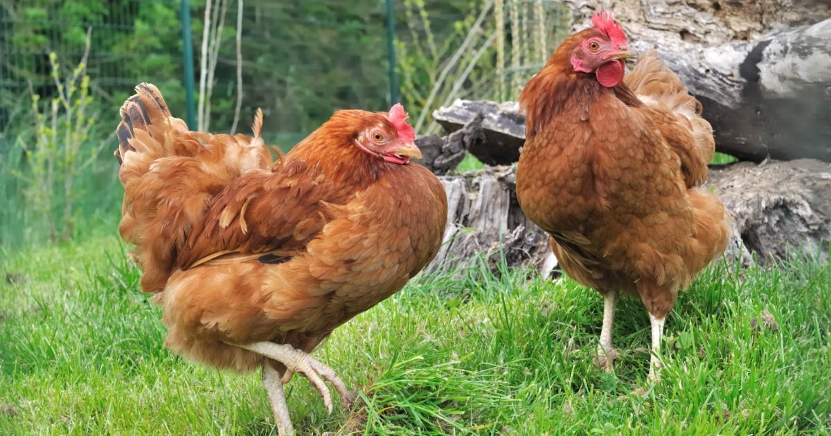 Un éleveur donne 3000 poules pour qu'elles ne soient pas tuées
