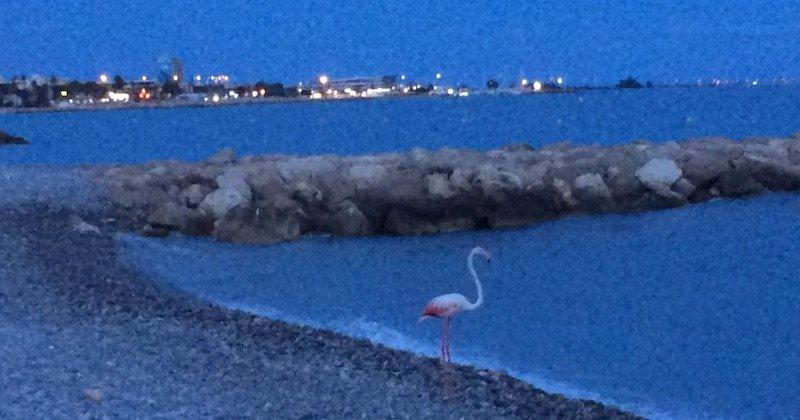 Un flamant rose a été photographié sur une plage de Cagnes-sur-Mer