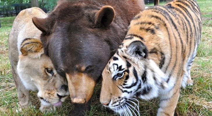 Un ours, un tigre et un lion : ces belles photos racontent l'histoire d'une amitié très spéciale