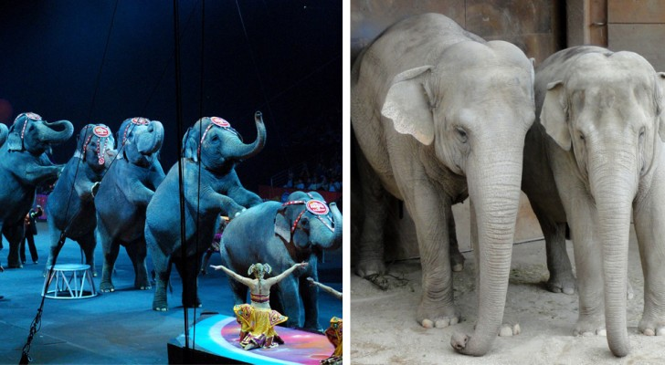 Le Danemark interdit l'utilisation des animaux dans les cirques et achète les 4 derniers éléphants restants pour les libérer