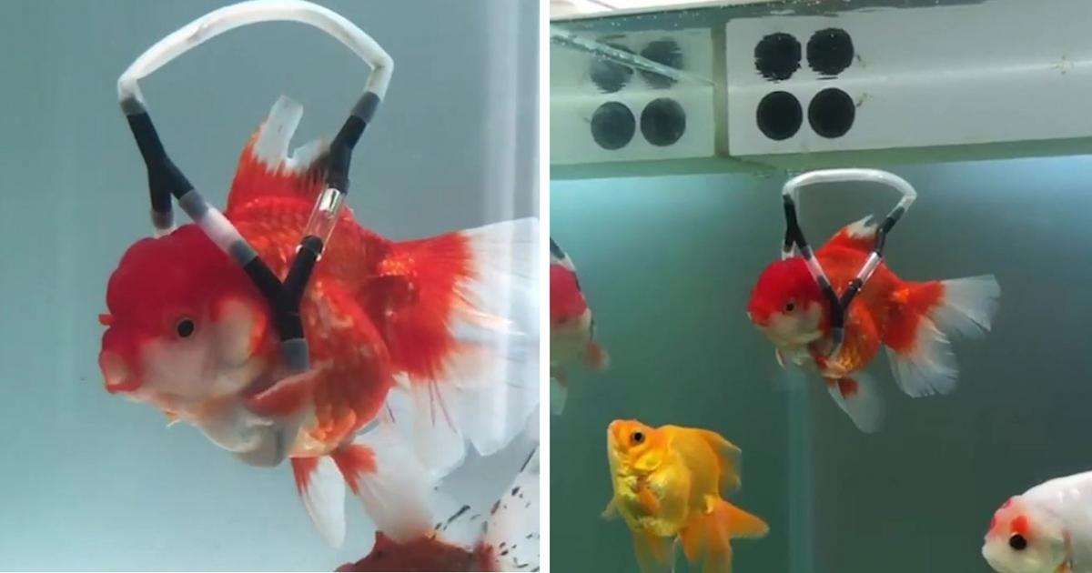 Un homme crée un ingénieux dispositif de flottaison pour sauver un poisson rouge d'une mort certaine