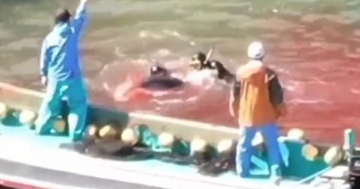 La mer tourne au rouge alors que des pêcheurs Japonais massacrent des dauphins.