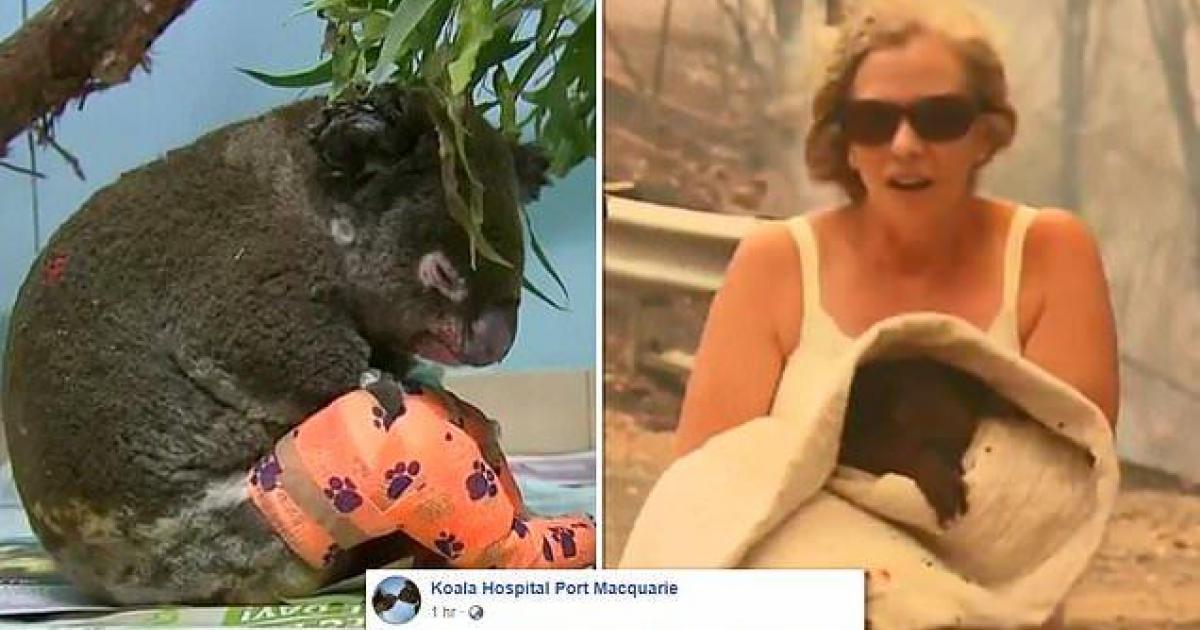 Le koala qui a été sauvé des flammes a dû être euthanasié.