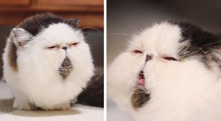Zuu, le chat qui a la même expression boudeuse que celui qui vient d'entendre sonner le réveil du matin