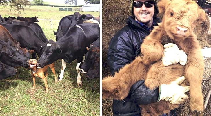 Ces 13 photos montrent que les vaches peuvent être aussi adorables et tendres que les chiens