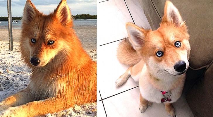 Mya, l'irrésistible petite chienne qui ressemble à un renard avec le regard d'un Husky