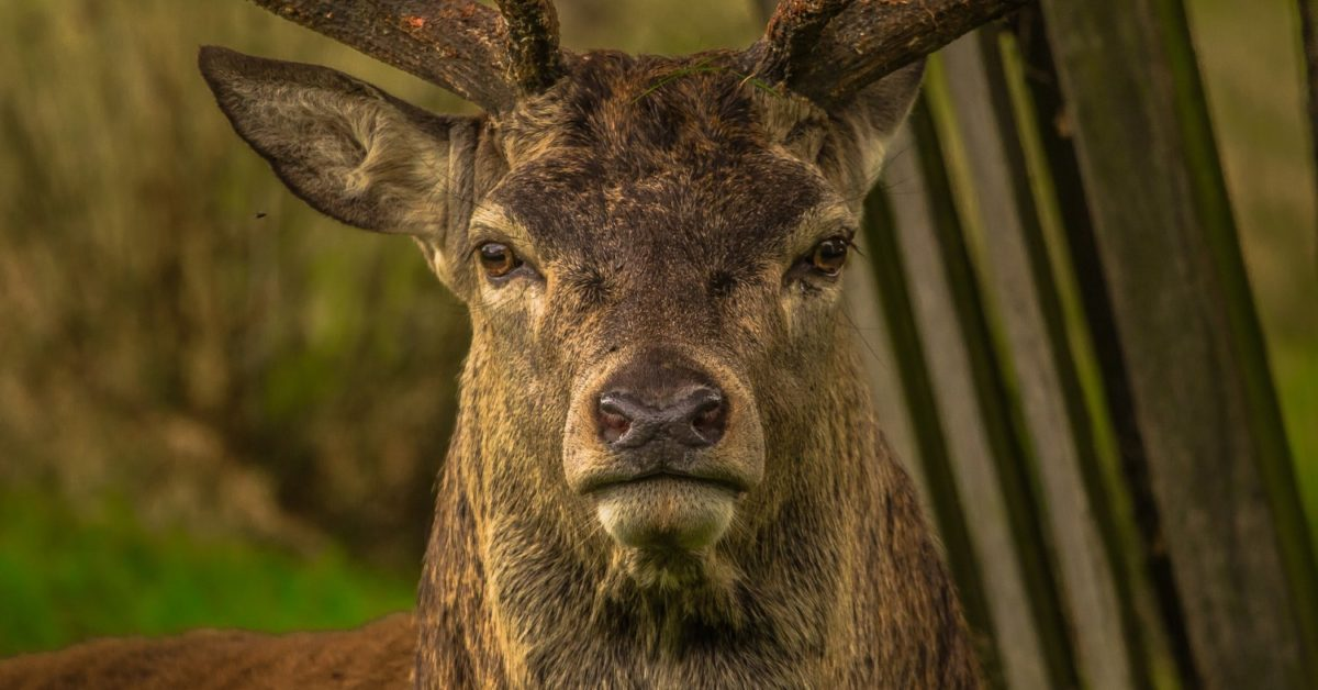 Un chasseur meurt après avoir tiré sur un cerf qui a survécu et l'a attaqué