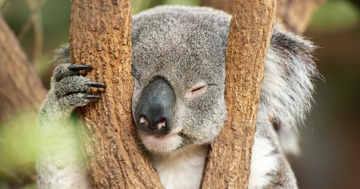 Des dizaines de koalas écrasés par des bulldozers en Australie