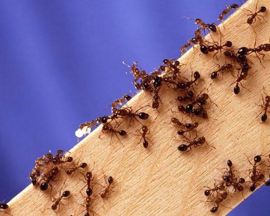 Comment se débarrasser des fourmis dans la maison sans produits chimiques ?