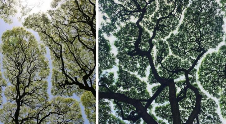 7 belles photos montrent le mystérieux phénomène où les feuillages des arbres ont tendance à ne pas se toucher