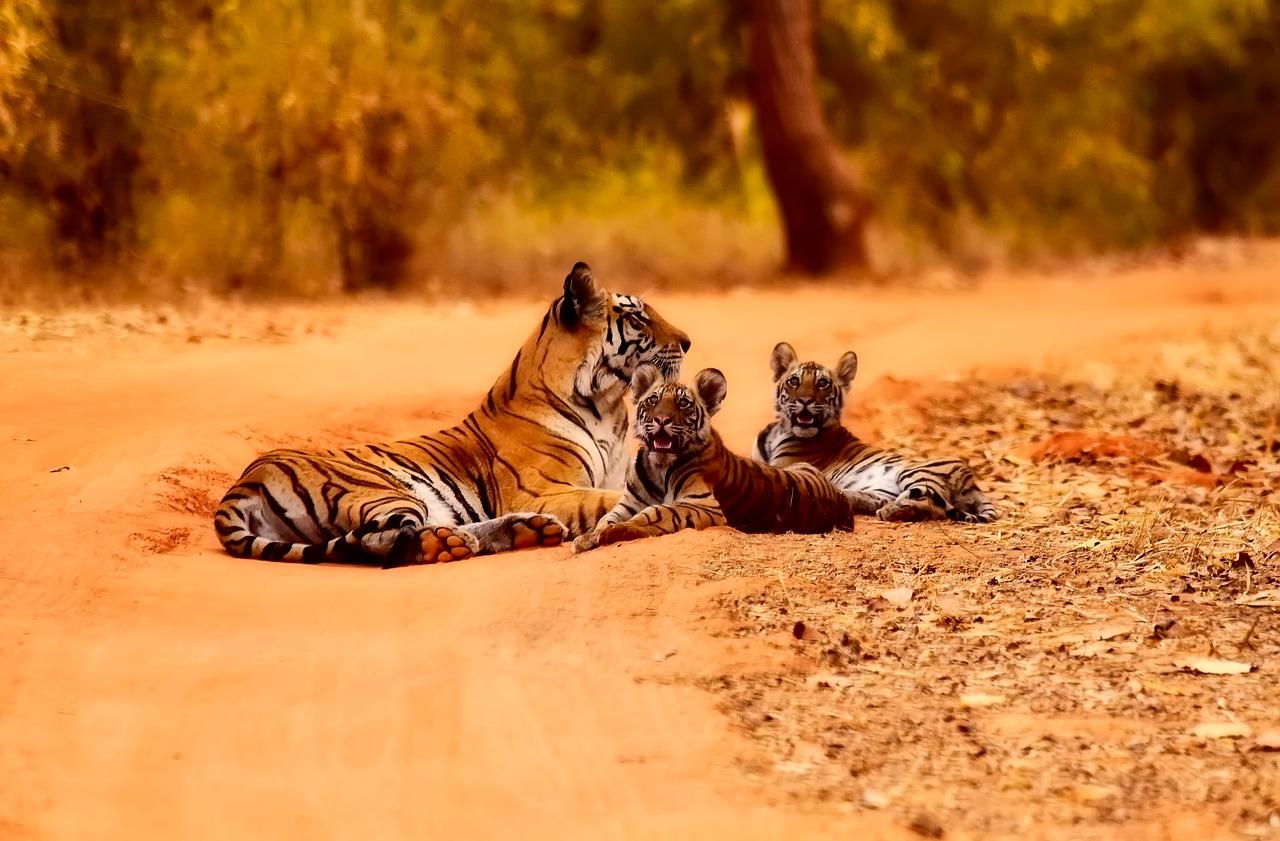 Des milliers de kilomètres de routes menacent la survie des tigres