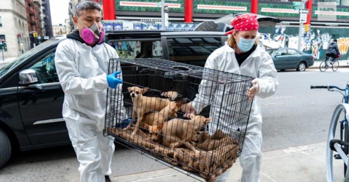Coronavirus : Voila ce qui arrive aux animaux de compagnie quand leurs propriétaires meurent