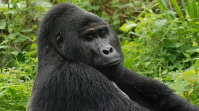 Le tueur de Rafiki, célèbre gorille à dos argenté, écope de 11 ans de prison