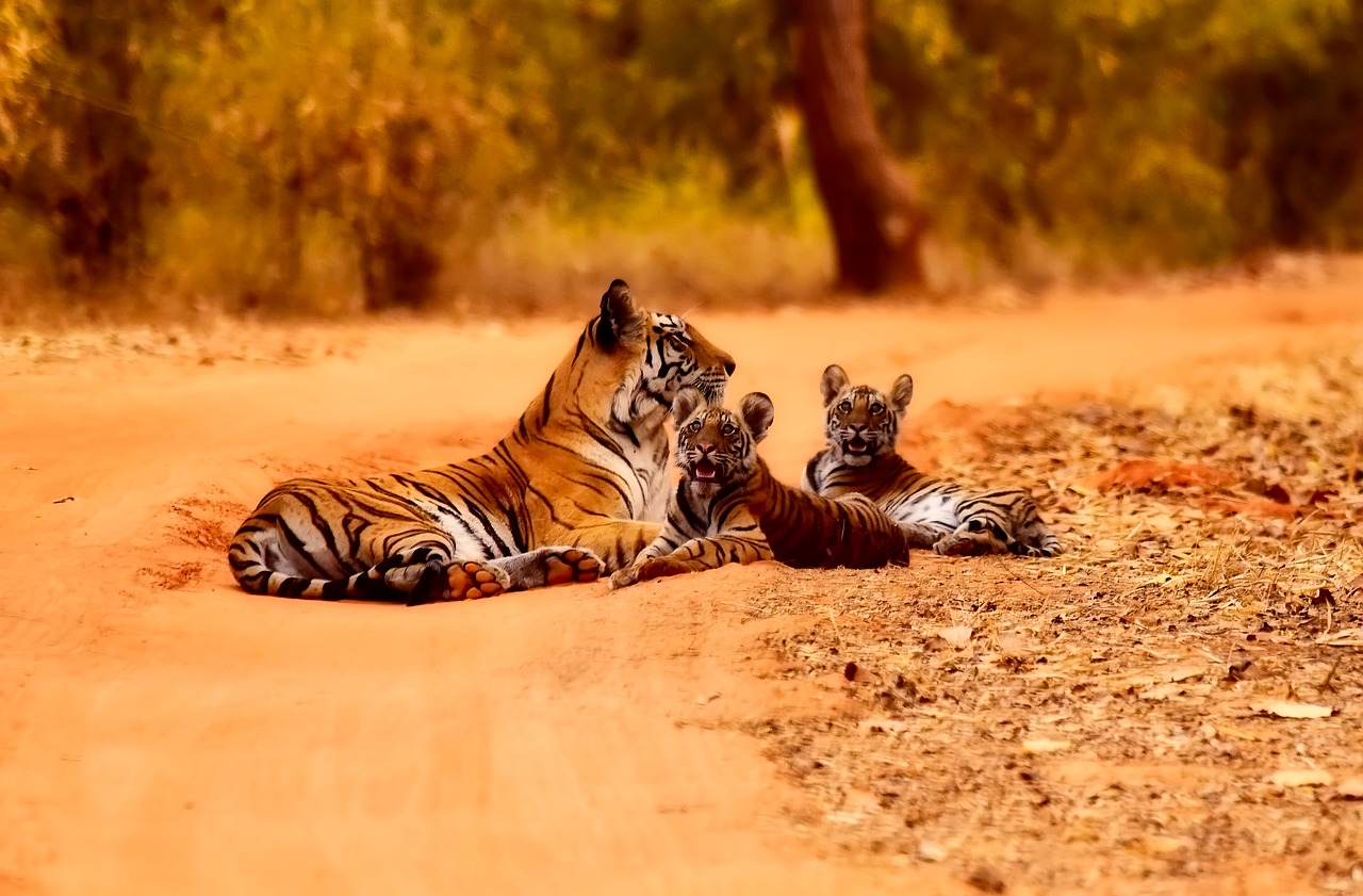 Bonne nouvelle, le nombre de tigres sauvages est en augmentation !