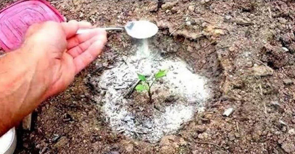 Le bicarbonate de soude est le meilleur ami du jardinier : voici 10 utilisations astucieuses dans le jardin