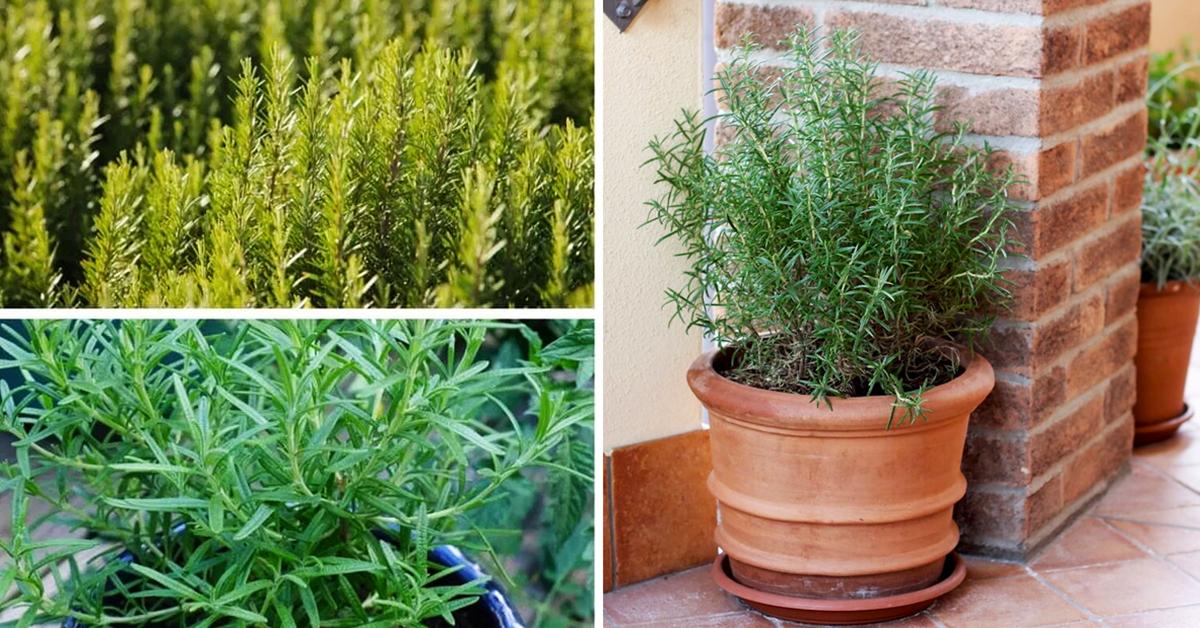 Le romarin est une plante aux propriétés curatives étonnantes. Voici comment le cultiver chez soi