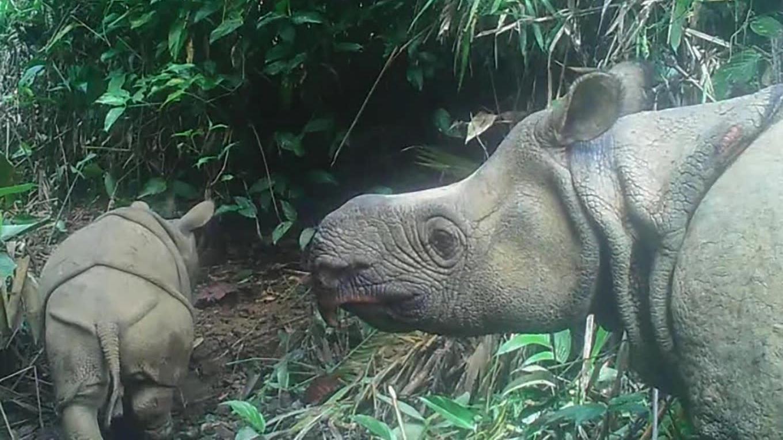 Espoir : deux nouveaux bébés rhinocéros de Java aperçus en Indonésie