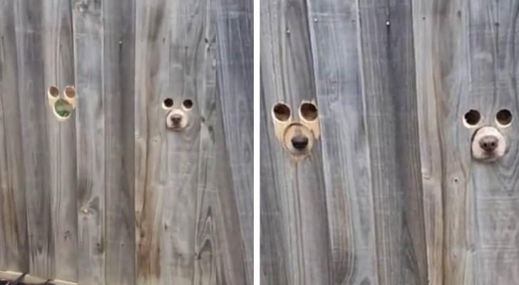 La maîtresse fait des trous dans la clôture pour que ses deux chiens puissent surveiller les passants