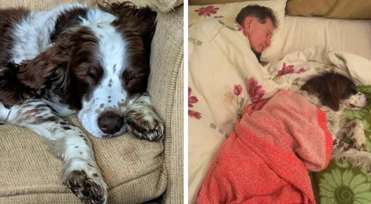 Le chien âgé a du mal à bouger : la famille se relaie pour dormir avec lui sur le canapé pour le réconforter