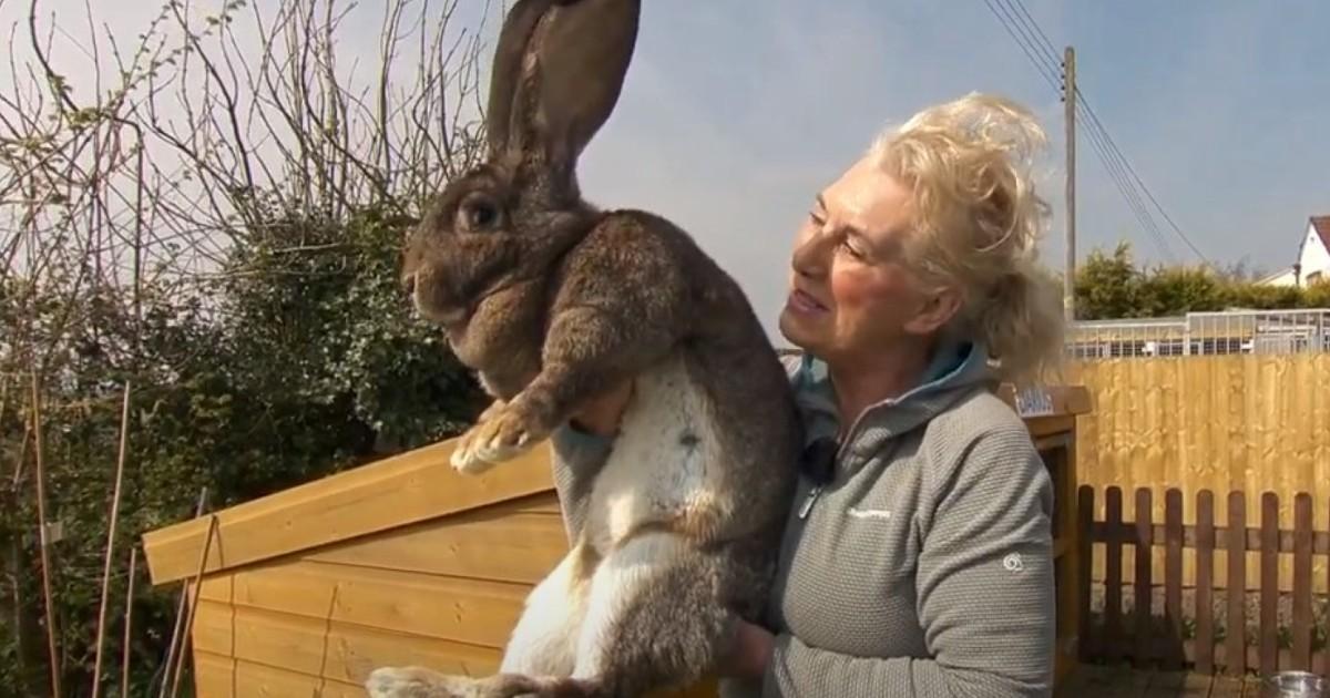 Le «plus grand lapin du monde» volé dans son enclos en pleine nuit