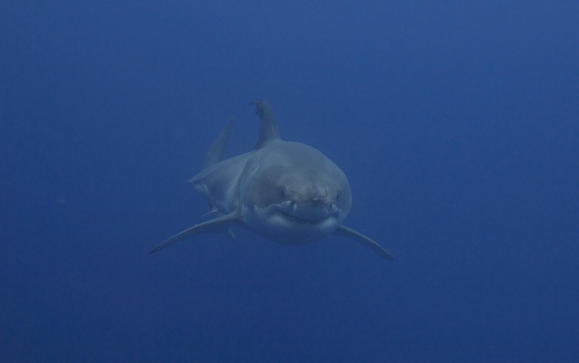 Nukumi, l'un des plus gros requins connus, se dirige t-elle vers l'Europe ?