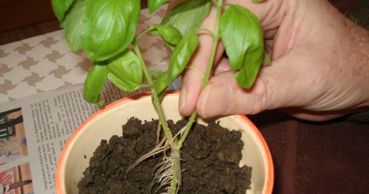 Voici comment cultiver du basilic à la maison et le conserver plus longtemps possible