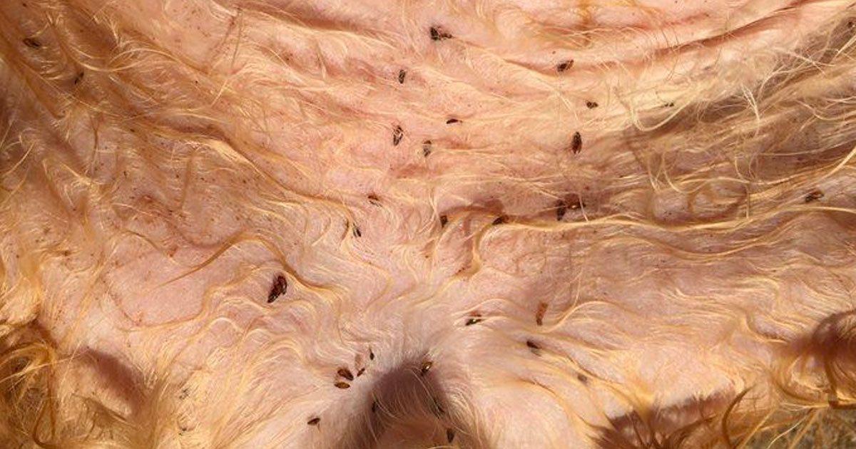 Voici comment fabriquer un anti-puce naturel pour votre animal de compagnie