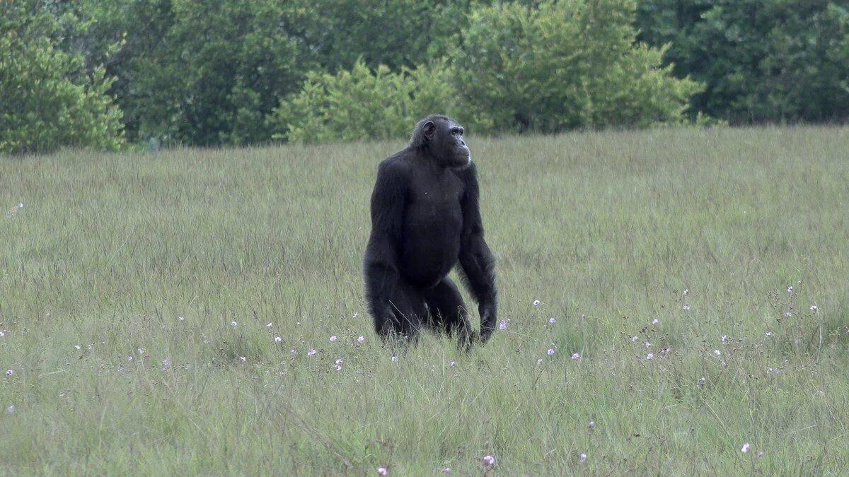 Chimpanzés vs gorilles : premières querelles mortelles observées dans la nature