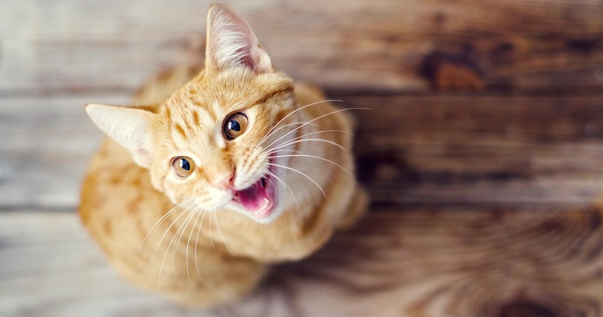 Votre chat miaule continuellement? Voici 12 explications possibles à ce comportement.