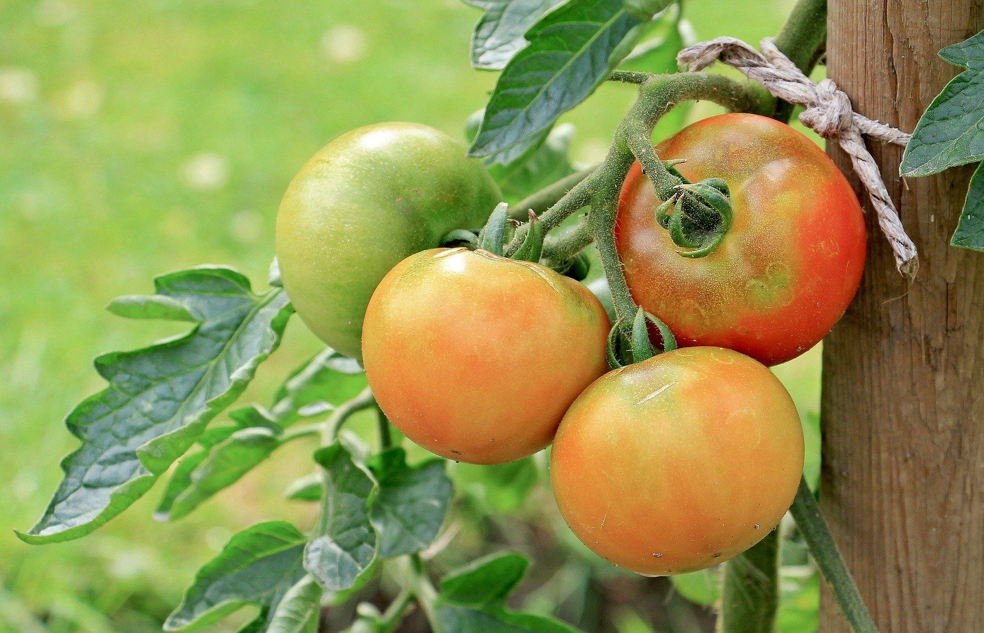 Les tomates peuvent avertir leurs plants des attaques de ravageurs